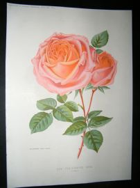 Amateur Gardening 1894 Botanical Print. New Tea-Scented Rose